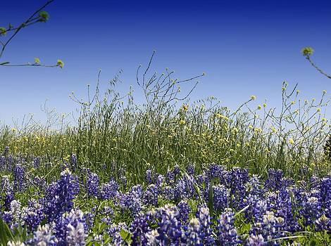 Lynnette Johns - Springtime Bluebonnets