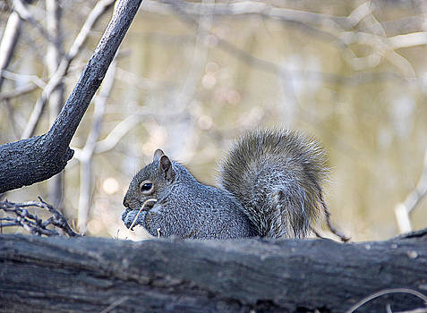 Squirrel by Yosi Cupano