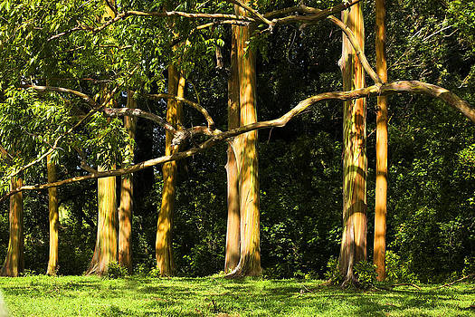Marilyn Hunt - Stand of Rainbow Eucalyptus Trees