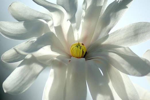 Star Magnolia by L Granville Laird