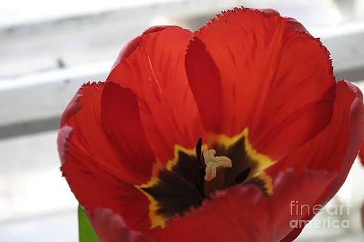 Summer - Tulip Red Revival  by Alisa Tek