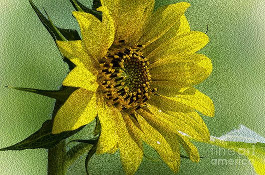 Christine Belt - Summer Sunflower in Nebraska City