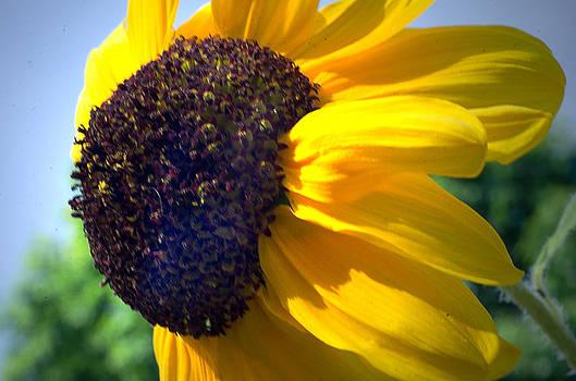 Sun flower by Cheryl Cencich