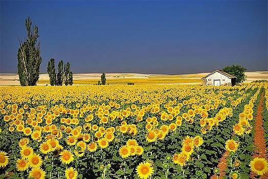 Sun Flower Field by Sunkies Fang