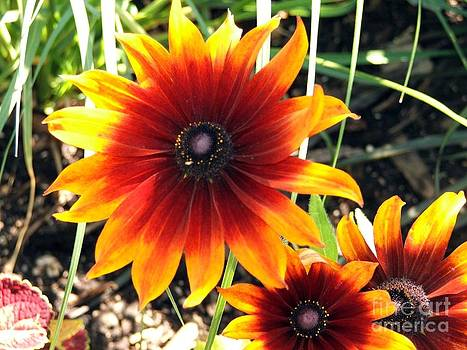 Sun in a Flower by Ashley Vipond