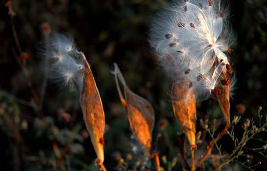 LeeAnn McLaneGoetz McLaneGoetzStudioLLCcom - Sun Kisses Milkweeds