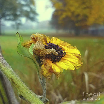 Sunflower At Summers End by Jeff Breiman