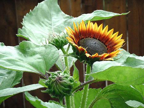 Jon Baldwin  Art - Sunflower Blooming