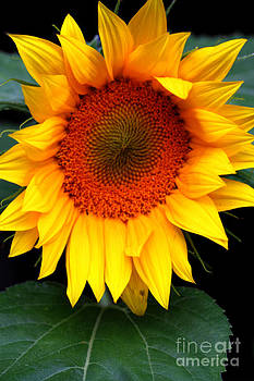 Nick Gustafson - Sunflower Close up