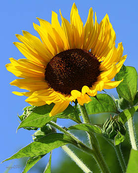 DazzleMe Photography - Sunflower