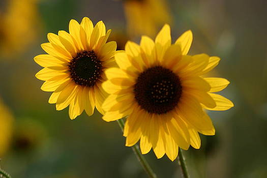 Sunflower Dreams by Laurie Penrod