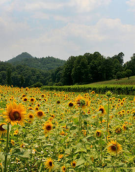 Sunflower Field 1 by Tanya Jacobson-Smith