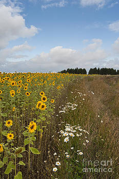 Sunflower field by Andrew  Michael