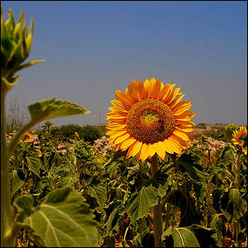 Sunflower by Gunnar Boehme