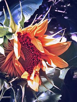 Jon Baldwin  Art - Sunflower In Bloom
