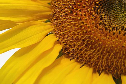 Sunflower by Joan Powell