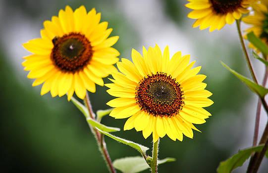 Sunflower Love by Swift Family