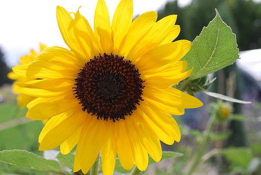 Sunflower by Moby Kane