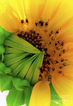 Christine Belt - Sunflower No. 44