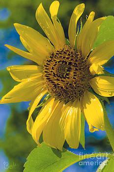 Christine Belt - Sunflower No. 45