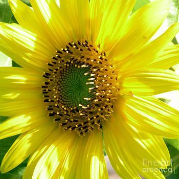 Christine Belt - Sunflower No.27