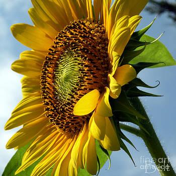 Christine Belt - Sunflower No.29