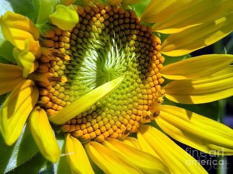 Christine Belt - Sunflower No.31