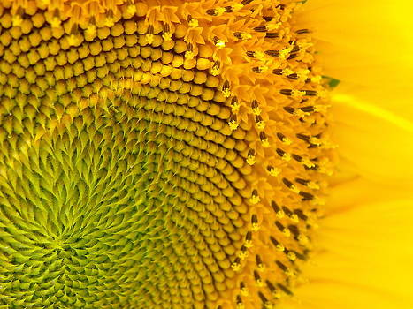 Sunflower Study 1 by Sarah Egan