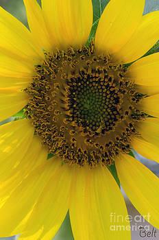 Christine Belt - Sunflower Sunburst