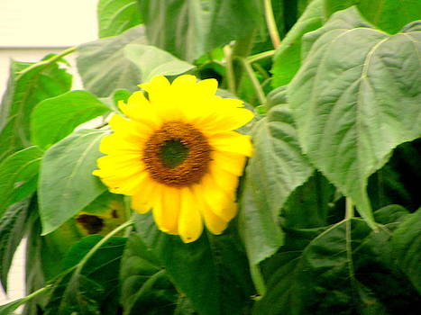 Sunflower Within Leaves by Amy Bradley