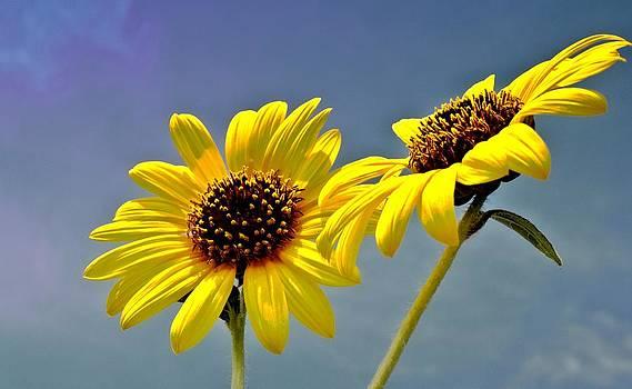 Lynnette Johns - Sunflowers - HDR