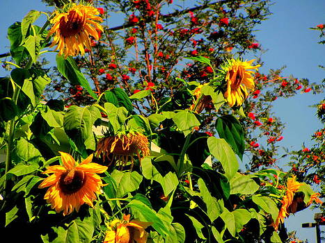 Sunflowers and Mountain ash trees by Amy Bradley