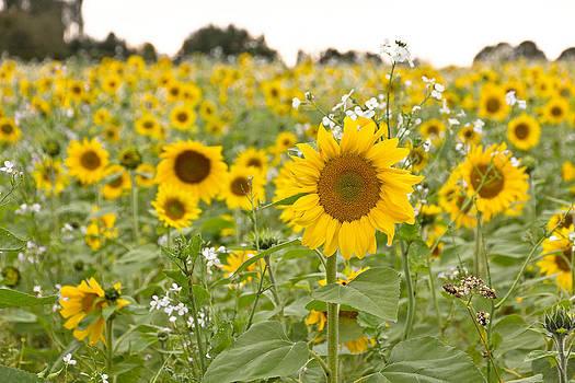 Sunflowers Field by Kent Andersen