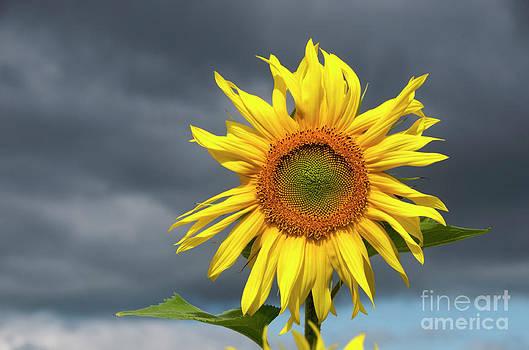 BERNARD JAUBERT - Sunflowers Helianthus annuus