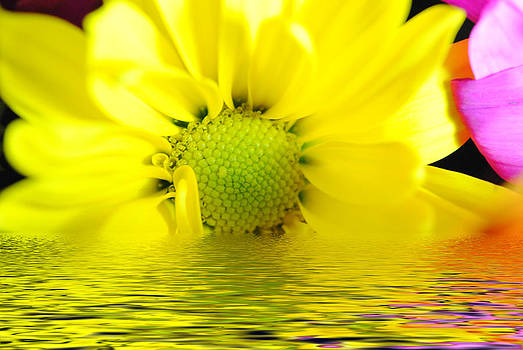 Cindy Boyd - Sunrise Yellow Daisy