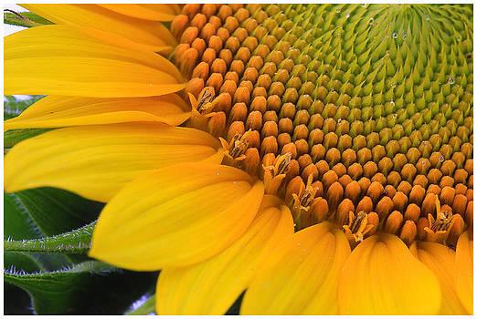 Shari Jardina - Sunshine in a Flower