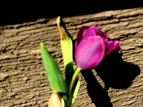 Surviving Tulip by Amy Bradley