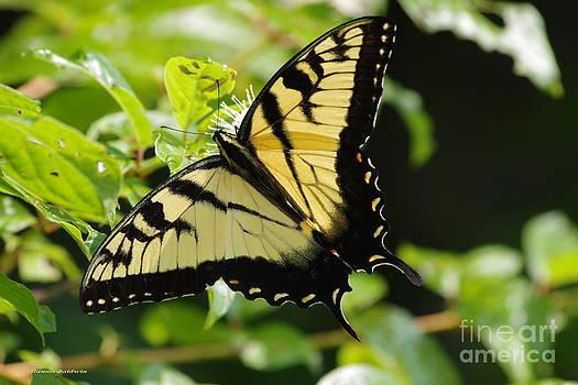 Tannis  Baldwin - Swallowtail Butterfly 2