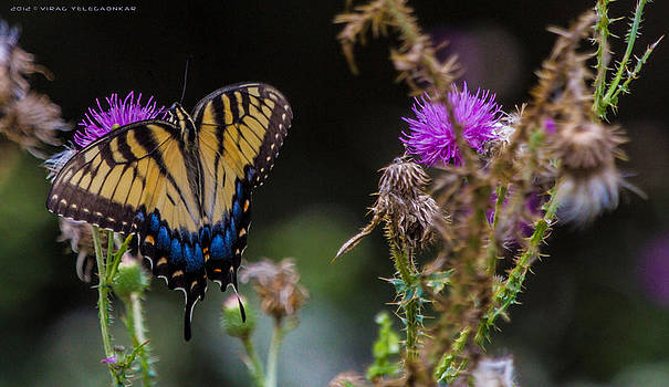 SwallowTail Butterfly by Virag Yelegaonkar