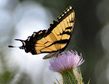 Marty Koch - Swallowtail