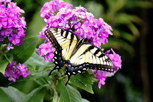 Swallowtail on Phlox by L Granville Laird