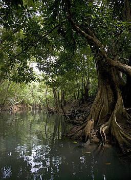 Swampblood Trees Dominica by Bryan Allen