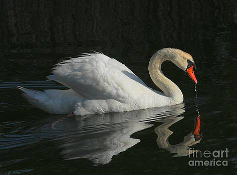 Swan by Curtis Brackett