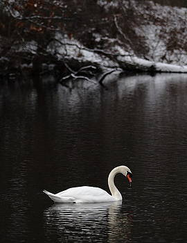 Swan by Keith Baenziger