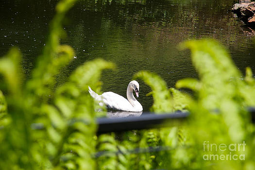 Swan  by Patience Martin