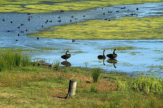 Noel Elliot - Swans and Ducks