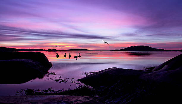 Swans and gulls enjoy the sunrise by Syssy Jaktman