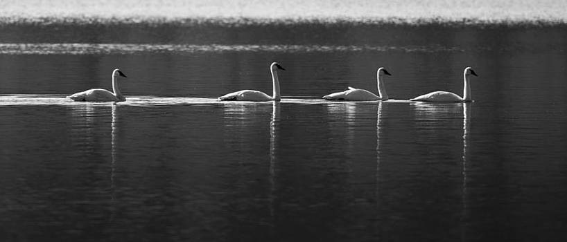 Swans in a Row by Brandon Broderick