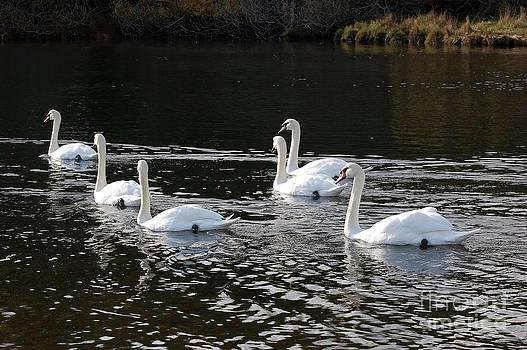 Swans in a Row by Marsha Thornton