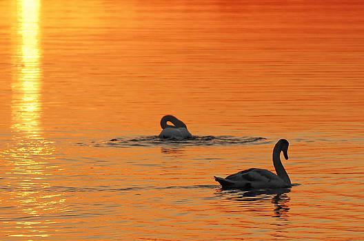 Randall Branham - Swans in Early Light